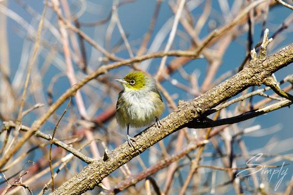 Upper Takaka, Takaka Hill-Silvereye, Tauhou, kleiner süsser Vogel in einem blattlosen Busch