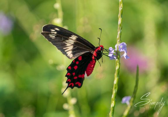 Crimson Rose Schmetterling