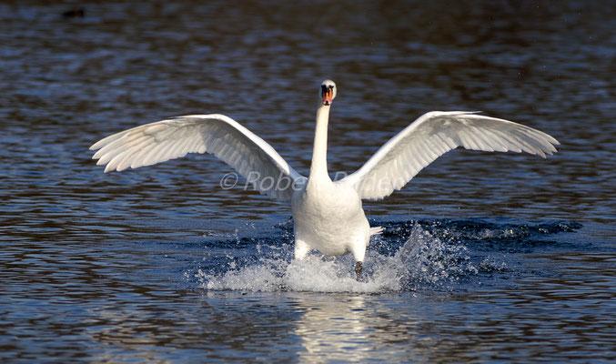 Höckerschwan, Cygnus, Swan