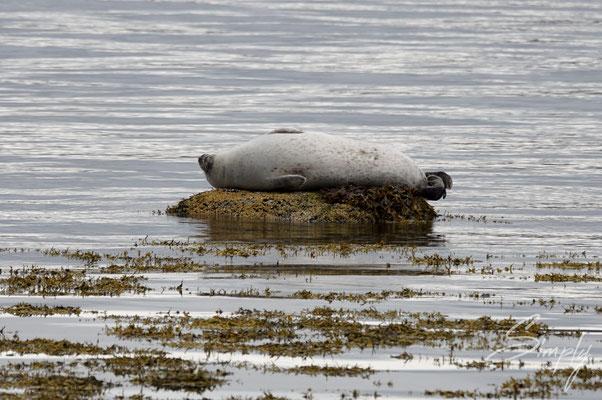 Entspannte Robbe auf einem Stein in einem der wunderbaren und ruhigen Fjorde.