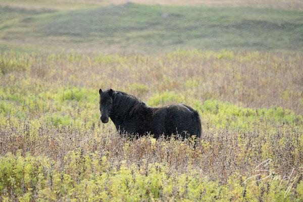 Isländisches Pferd in der Wildnis.