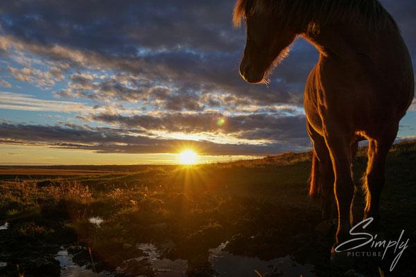Isländisches Pferd vor einem traumhaften Sonnenuntergang.