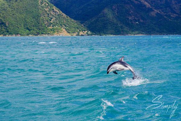 Manapouri, Doubtful Sound, Dusky Dolphin im Sprung