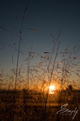 Sonnenuntergang hinter dörren Grashalmen bei Laugarvatn.
