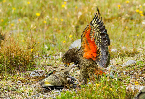Arthur's Pass, zwei Kea's kämpfen auf dem Boden