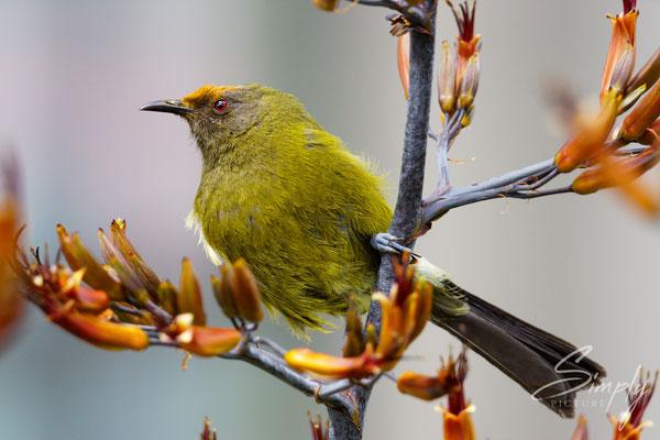Bellbird in mitten seiner Lieblingsblüten, das Köpfchen ist gelb von den vielen Pollen der Blüten