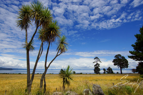 Lake Taupo Scenic Lookout, Stachelpalmen, Sommerliche Wiese