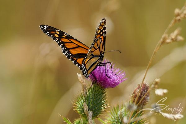 Rot-gelb-schwarzer Schmetterlin auf einer violetten Blüte