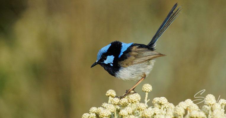 Blue Fairy Wrens near the Great Ocean Road