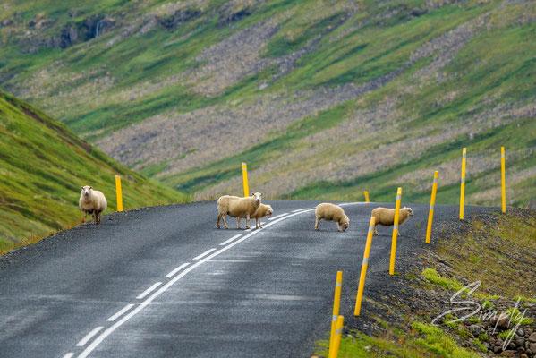 Eine isländische Schafsfamilie auf der Strasse im Nirgendwo.