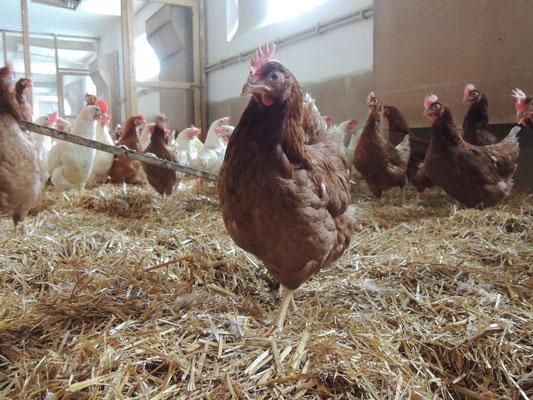 Die Hühner fühlen sich wohl im Stall.
