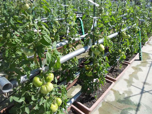 大玉トマトはまだうどんこ病発生していません。