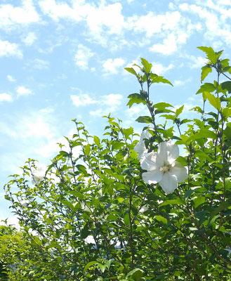 ~  梅雨の晴れ間  ~  涼しげなムクゲの花を見上げた♪   (2021.6.24) (c) Yukie Arai