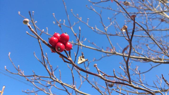 ~  赤い実  ~ この枝に  今年最後の輝きひとつ ♪  (2016.12.27) (c) Yukie Arai