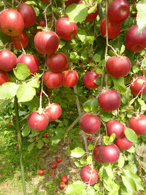 ~ Apples ~ ニュートンも 驚きの 鈴なり♪♪  (2015.9.30) (c) Yukie Arai