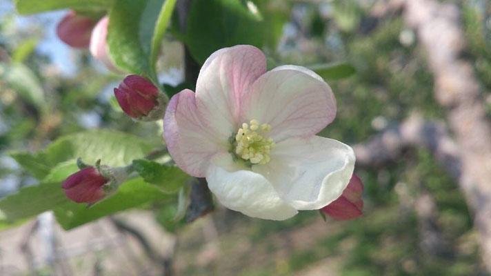 我がふるさとの5月は リンゴの花♪ ふんわりと優しい風が通りすぎたっ…☆ (2014.5.8) (c) Yukie Arai