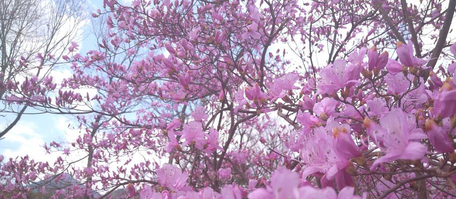 ~  早春  ~ いっせいに 羽ばたけ♪ (2020.3.18) (c) Yukie Arai