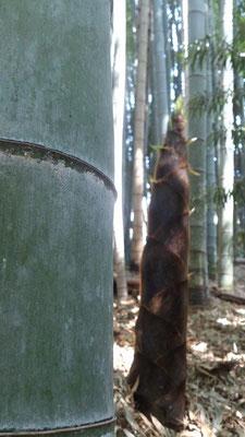~ そろそろ・・・ ~  そろそろ アイツを  竹 と お呼びしようかっ……☆ (2015.4.27) (c) Yukie Arai