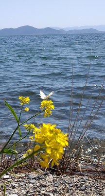 ~  びわ湖をわたる  ~  やぶれた羽に  エール☆をおくる  (2021.4.8) (c) Yukie Arai