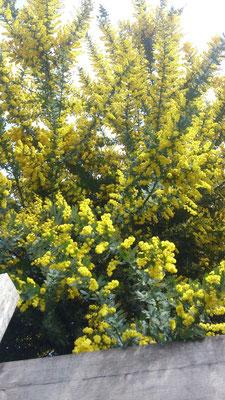 ~  午後2時  ~    こぼれ落ちそうな 黄色を見上げた ♪  (2016.3.27) (c) Yukie Arai