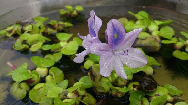 ふぅ~っ。。…夕すずみ☆…水やり☆…メダカ☆… 薄紫 で 涼 を とる (2014.7.26) (c) Yukie Arai