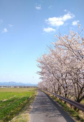 ~  並木 ~ 琵琶湖へとつづく 朗朗と♪ (2020.4.4) (c) Yukie Arai