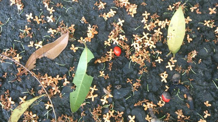 ~  金木犀と赤い実  ~ ポロン ポロロンと  奏で降る ♪  (2016.10.23) (c) Yukie Arai