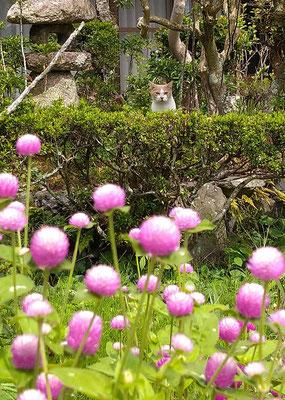 ~  距離感...♪ ~  垣根からの猫  千日紅からの私   (2021.9.9) (c) Yukie Arai