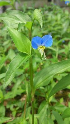 好きな青☆・・・ツユ草の「あお」。どこか幸福にも哀しみにも似た、儚げなこの青にもっと近づきたいっ。 (2013.6.27) (c) Yukie Arai