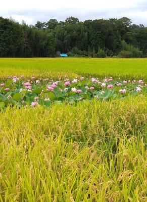 ~  米・米・蓮根・米 ~ 田園の花園♪  (2020.8.27) (c) Yukie Arai