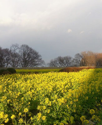 ~ 早咲 菜の花 ~  湖岸  あたたかい陽射しが  春へ導きます☆ように… (2015.1.25) (c) Yukie Arai