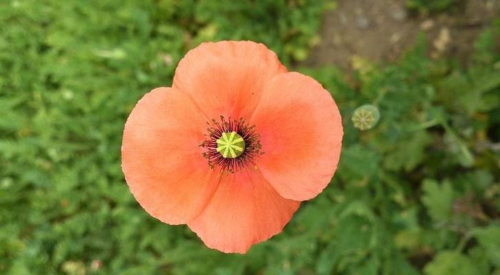 ~ flower ボタン ~  アスタリスク  * * *  を ポチっと押してみた☆… (2015.6.4) (c) Yukie Arai