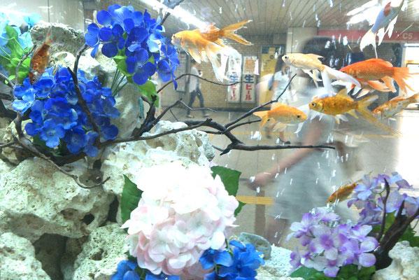 ~  金魚と紫陽花と  ~    涼しげに  ゆき交うすがた  ながめてる ...☆   (2016.7.4) (c) Yukie Arai