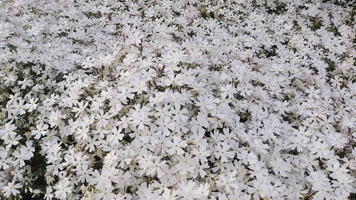 群集の中の小さな花達の織り成すエネルギーに時折ハッとします。(2013.5.18) (c) Yukie Arai