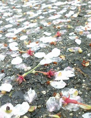 ~ 桜しべ降る ~  若葉をぼんやり見上げていたら突然話しかけられた・・・「桜しべ降る のも一興なのょ~」と、笑顔で地面を指さす70代くらいのオバさま。 桜は花が散ったあとその「しべ」が赤く色づき降ってくるのだという。そしてそれは春の季語だと見知らぬ私に教えてくれた。 「へ~♪」・・・・・・・・・・ あのオバさまはどこかでお元気だろうか☆…10年前の会話を今年も嬉しく思いだしている。(2015.4.16) (c) Yukie Arai