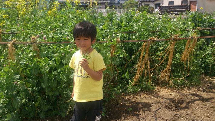 ~  こどもの日  ~ おいっ子と スナップえんどう収穫☆彡 (2018.5.5) (c) Yukie Arai