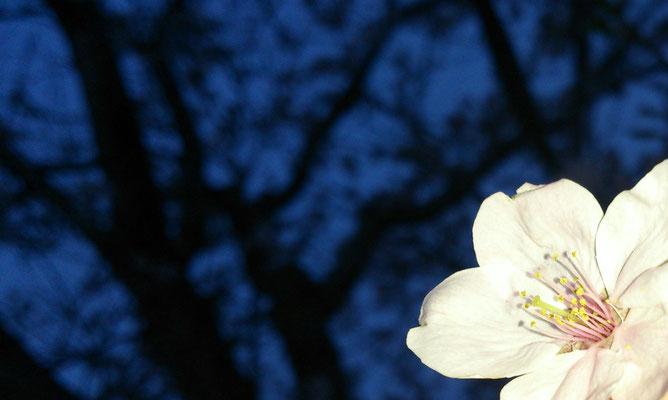 ~  夜桜  ~    散りゆく さくら に  別れを 惜しんだ ☆...   (2016.4.11) (c) Yukie Arai
