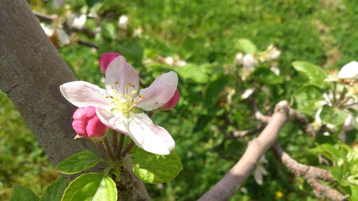 リンゴの花咲くふるさとでリフレッシュ♪ (2017.5.8) (c) Yukie Arai