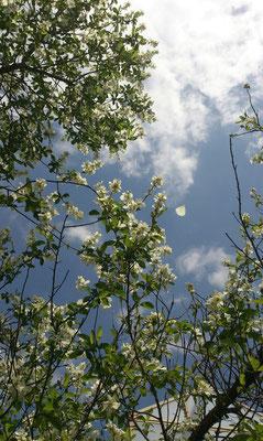 ~  青空へ  ~    はなびら  1枚  フワリっ ♪   (2016.4.24) (c) Yukie Arai