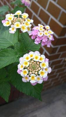 「よっ!たーまやぁ~」 小さな花の色を変化させながら、次々と咲いてゆく ランタナ。キュートに弾ける☆元気玉☆ (2013.7.17) (c) Yukie Arai
