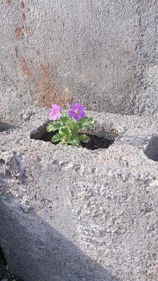 ~ ブロック穴 ~  背丈5cm。ピンク。  春風日和~♪ (2015.3.4) (c) Yukie Arai