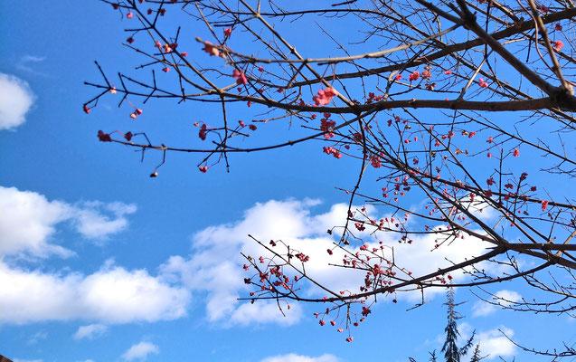 ~  ポップコーン☆みたいな...  ~  寒空にはじけた  春色♪  (2021.1.29) (c) Yukie Arai