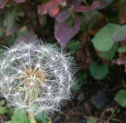 ~ ボン ボヤージュ☆ ~ 花の おわりは  種の はじまり  旅の はじまり (2014.11.18) (c) Yukie Arai