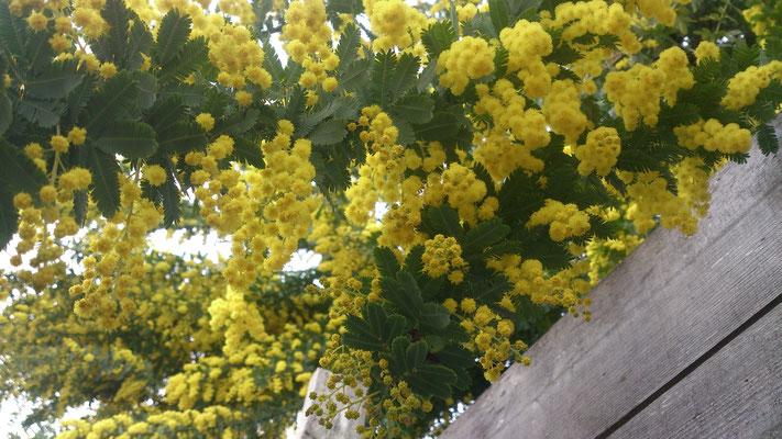 ~  acacia  ~   なつかし過ぎる 未来が  たったひとつの 探しもの~♪ (2017.4.6) (c) Yukie Arai