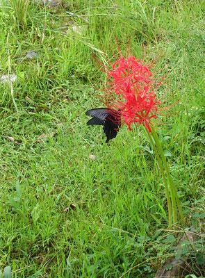 ~  彼岸花にアゲハ蝶  ~ ヒラリっとした赤に  フワリと黒がとまった♪... (2018.10.1) (c) Yukie Arai