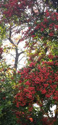 ~  透き間から黄葉 ~ 赤い実 にぎやか♪   (2020.11.23) (c) Yukie Arai