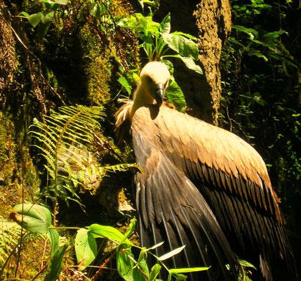 ce jeune vautour semble hésiter à s'envoler