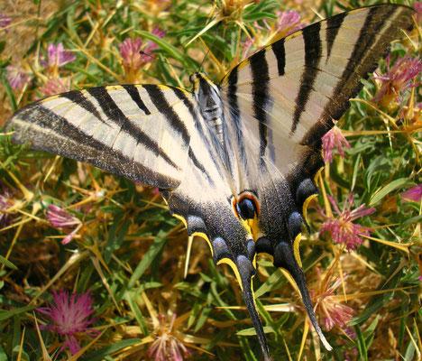 le flambé, un grand papilon porte-queue, n'est pas rare en été