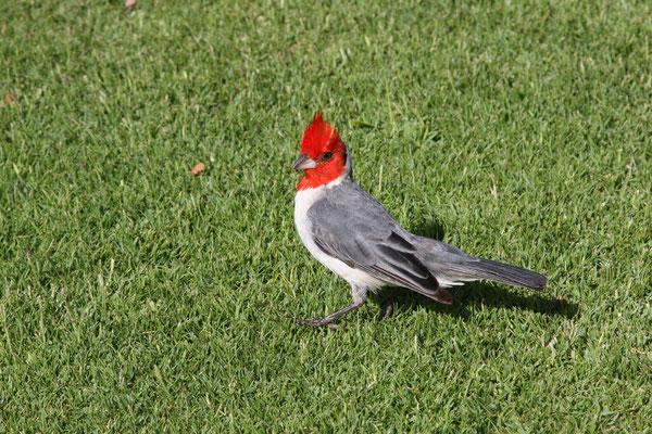 Kardinalvogel
