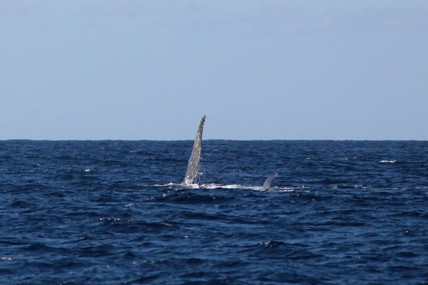 Lahaina - Whale Whatching